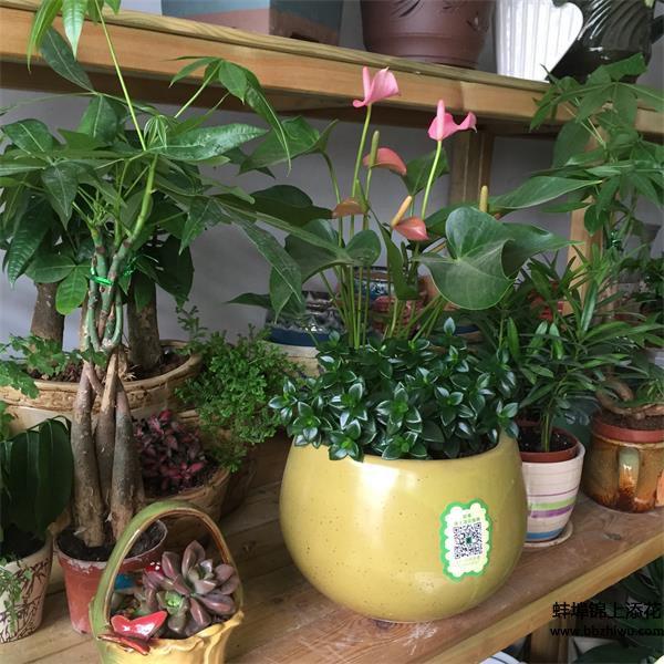 蚌埠绿植零售