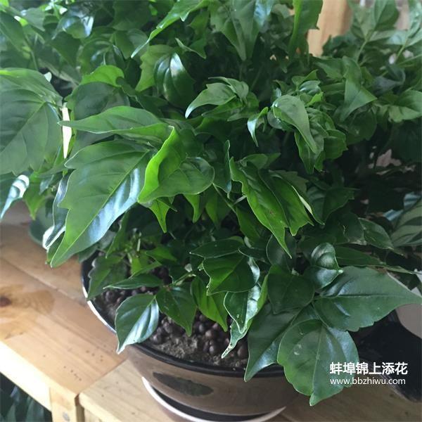 蚌埠幸福树
