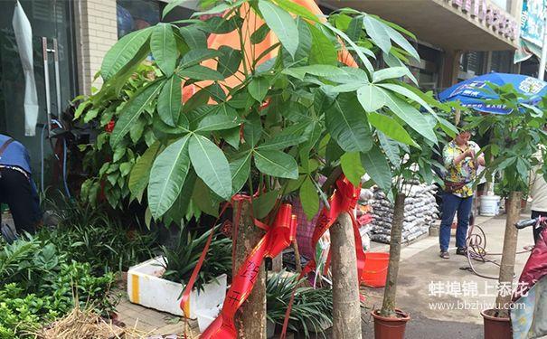蚌埠发财树