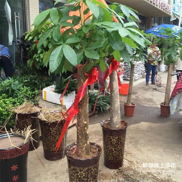 蚌埠开业树